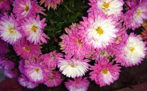 Picture autumn, chrysanthemum, November, mamala ©