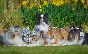 Picture dogs, flowers, daffodils, Sheltie, wreaths, The border collie, Shetland Sheepdog, friendly company, Alaskan Klee Kai