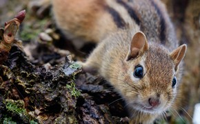 Picture muzzle, Chipmunk, bark, rodent, pet