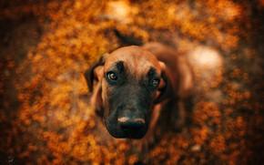 Picture autumn, puppy, bokeh