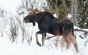Wallpaper winter, moose, nature