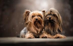 Picture dogs, portrait, a couple, Yorkshire Terrier