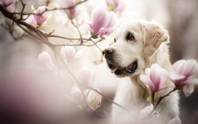 Wallpaper face, branches, Magnolia, flowers, portrait, dog