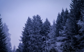 Picture Winter, Cloudy, Snow, Frosty, Ice, Forest, Gloomy, Pine