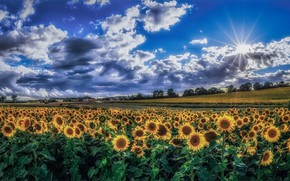 Picture field, summer, sunflowers, morning