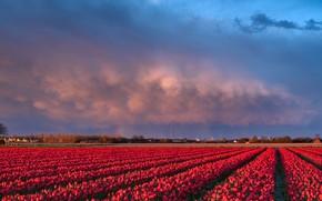 Picture tulips, Netherlands, plantation
