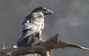 Picture beak, Raven, Corvus corax