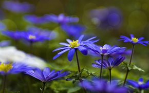 Picture blue, forest, anemone, Anemone
