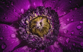 Picture flower, purple, petals, anemone