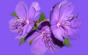 Picture Purple, Reflection, Flower