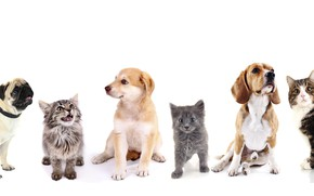 Picture cat, pug, puppy, Retriever, Beagle, cotinot