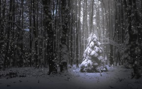 Picture forest, snow, tree
