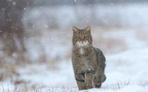 Picture winter, snow, wild cat, bokeh, forest cat