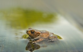 Picture water, background, frog