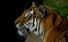 Picture cat, mustache, look, face, nature, tiger, background, black, portrait, predator, profile, wild cats
