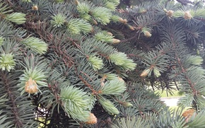 Picture needles, spring, needles, blue spruce, fir-tree branches, the young shoots