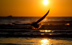 Picture sea, flight, sunset, bird