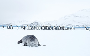 Picture nature, King Penguins, Seal
