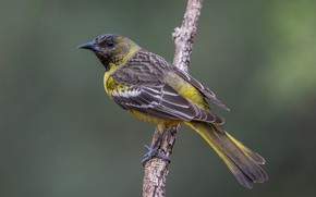 Picture bird, branch, female, palm colored troupial