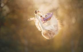 Wallpaper dog, ring, jump
