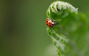 Picture greens, nature, ladybug