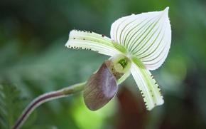 Picture macro, nature, petals, Orchid