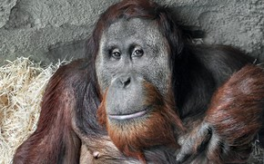 Picture look, monkey, Sumatra Orang-Utah