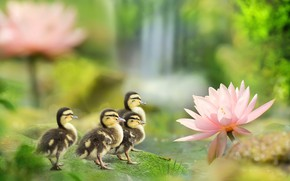 Picture birds, pond, duck, spring, ducklings, Lotus, fuyi Chen