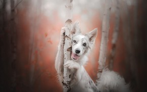 Wallpaper dog, look, Aussie, Australian shepherd, trees, bokeh, joy, birch, autumn