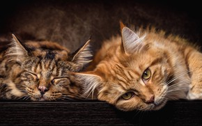 Wallpaper cat, cats, pair, red, lie, Maine Coon, two, grey, cats, stay, boys, muzzle, the dark ...