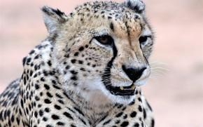 Picture face, predator, Cheetah