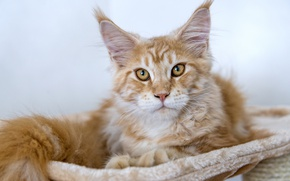 Picture cat, red, Maine Coon