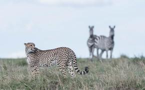 Picture predator, Cheetah, Savannah, grace, wild cat
