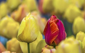 Picture flowers, red, paint, tulips, yellow