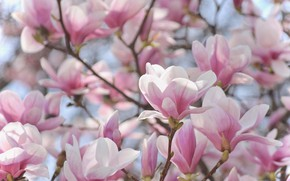 Picture pink, tenderness, beauty, spring, flowering, Magnolia