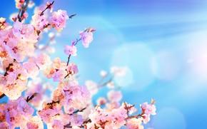 Picture the sky, the sun, flowers, branches, spring, Sakura, flowering, sky, pink, blossom, flowers, sakura, spring