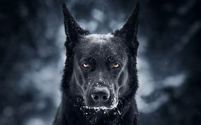 Picture German shepherd, face, background, snow, look, dog