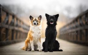 Picture dogs, bridge, friends