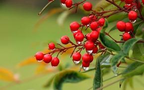 Picture drops, macro, branches, berries, Nandina