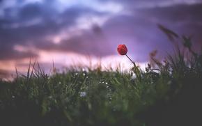 Picture nature, field, Tulip