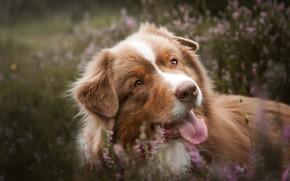 Picture language, face, dog, bokeh, Australian shepherd, Heather, Aussie