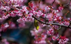 Picture branches, tree, bird, Sakura