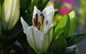 Picture macro, Lily, Bud, white