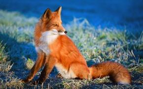 Picture grass, the sun, Fox, Fox, red, bokeh