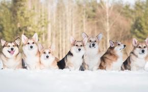 Picture friends, snow, Welsh Corgi, dogs, winter
