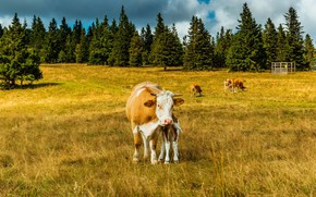 Wallpaper cows, forest, grass, Cologne, the sun, field, trees, Germany, nature