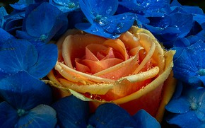 Picture drops, macro, rose, Bud, flowers, hydrangea, yellow rose
