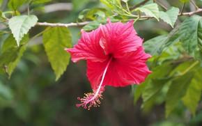 Picture flower, nature, flowering, hibiscus