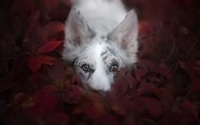 Picture look, face, leaves, dog, Australian shepherd, Aussie