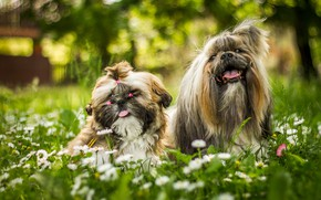 Picture greens, language, dogs, summer, grass, flowers, Park, background, mood, glade, two, chamomile, garden, meadow, hairstyle, ...